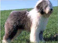 'The Old English Sheepdog Lovers Guide' eBook
